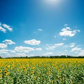 field with sunflowers and blue sunny sky