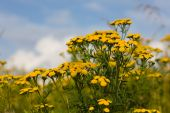 Tansy On A Summer Meadow