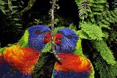 Sunset Lorikeet Parrots Couple