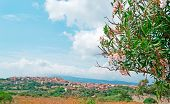Oleander In Sardinia