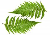 foto of fern  - Two ferns branch isolated on a White background - JPG