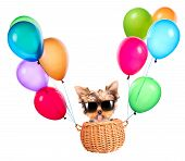 stock photo of yorkie  - happy yorkie toy flying in a basket with air balloons - JPG