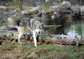 pic of peeing  - A gray wolf is peeing on a log - JPG