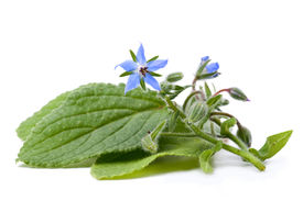 stock photo of borage  - Borage, flowers and leaves on a white background ** Note: Shallow depth of field - JPG