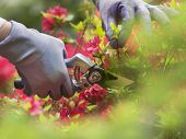 picture of prunes  - Hand with pruning shears on an azalia background