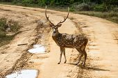 Beautiful Male Spotted Deer Standing On The Road