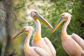 Flock of white pelican(Pelecanus onocrotalus)