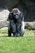 Gorilla, big single mammal on grass