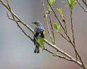 Perched Yellow-rumped Warbler