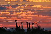 Giraffe Sunset - Wildlife Background from Africa - Herd of Colors and Beauty of Life