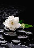 gardenia flower on pebbles �¢�?�?wet background