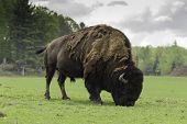 picture of herbivore animal  - An American Buffalo grazes in green pastures - JPG