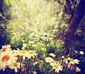 a bunch of pretty daisy like flowers done with a soft vintage instagram like effect filter