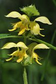 picture of archangel  - Yellow Archangel - Lamiastrum galeobdolon