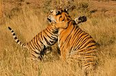 Bengal Tiger with her cub