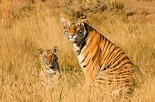 image of tiger cub  - A mother tiger and her cub watching curiously - JPG