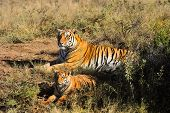 A tiger mother and her cub