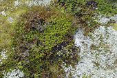 Detail of tundra vegetation.