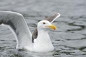Lesser black-backed gull in water