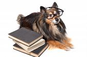 foto of sheltie  - Sheltie or Shetland Sheepdog wearing a tie and black framed glasses laying by a pile of books animal education concept - JPG