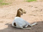 pic of billy goat  - The domestic goat  - JPG