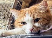 picture of animal cruelty  - Portrait of yellow sad sick cat lying at home