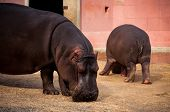 Hippo In Lisbon Zoo