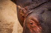 Hippo In Zoo