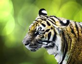 Tiger on bokeh background
