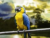 Blue and Yellow Macaw in Pantanal, Brazil