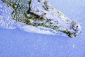 Wild Crocodile