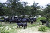 Buffalos in the Pantanal Farm, Brazil