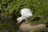Cattle Egret Looks Into The Water.
