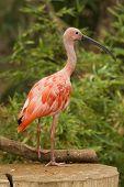 foto of scarlet ibis  - Scarlet Ibis Portrait shot in Athens Zoo - JPG