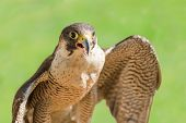 Fast Bird Predator Accipiter Or Peregrine With Open Beak