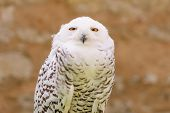 foto of snowy owl  - Portrait of quiet predator wild bird snowy white owl staring at camera lens with yellow eyes - JPG