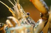 Closeup Detail To Head Of Crayfish Under Water