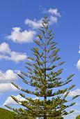Norfolk Island Pine. Latin name Araucaria heterophylla 'Glauca'
