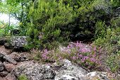Solid Heather In The Mountains Of The Cevennes