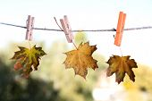Leaves hanging on rope on natural background