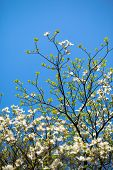 image of dogwood  - White flowering dogwood tree  - JPG