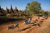 Cows Walking Near Swhe Inn Taing Paya Temple Near Inle Lake On Shan State In Myanmar.