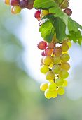 Grapes On The Field