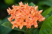 Background of orange Ixora flowers