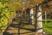 Vineyard in Valle d'Aosta, Italy
