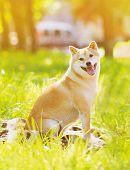 Summer Photo Happy Dog Shiba Inu Sitting On The Grass