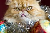 Red Persian Cat With Christmas Balls