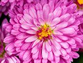 Magenta Chrysanthemum