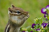 stock photo of caught  - Photo of a chipmunk caught eating violas from the flower garden - JPG