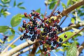 picture of elderberry  - Growing elderberry fruits on a background of blue sky